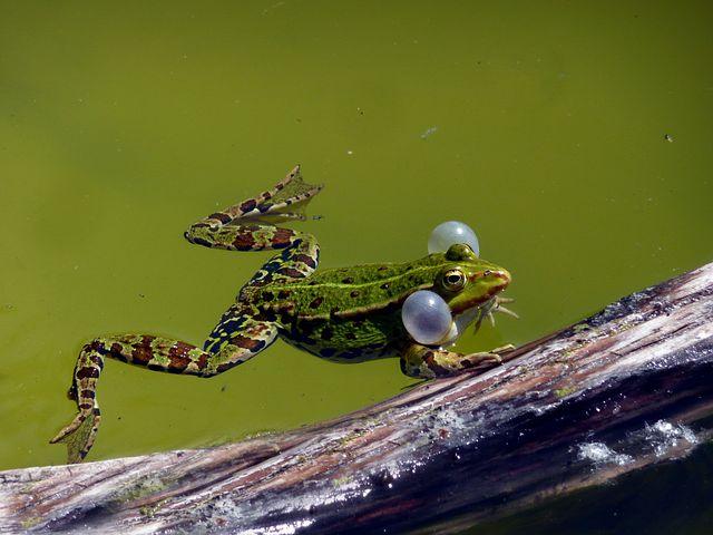 frogsauce