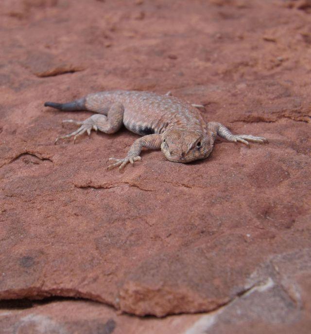 lizardish